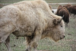 White Bison Near the Car