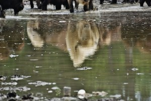 White Bison Reflection