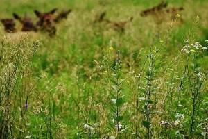 wildflowers elk in background (640x427)