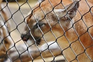 cougar ears back (640x427)