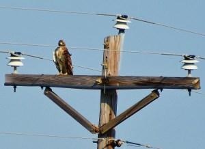 hawk closeup facing me