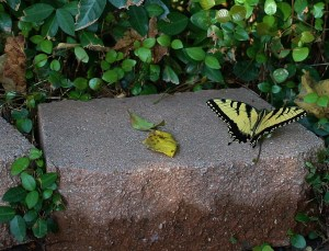 Yellow, Yellow Butterfly!