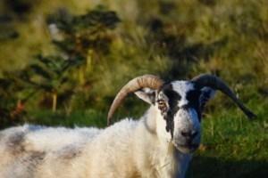 Black faced sheep watching me
