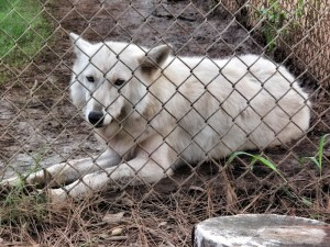 Arctic Wolf from Oregon (800x600)