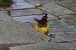 butterflies 038 (800x534)