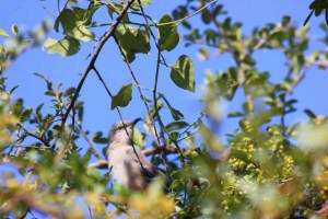 Mockingbird moved up higher on the 10-foot shrubs and then figured I wasn't going away and flew off.