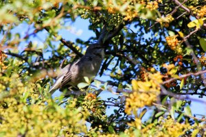 Mockingbird singing away but hiding in firestorm pyracantha, the berries turning for Halloween.