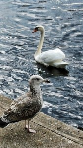 Swan and Juvenile Seagull