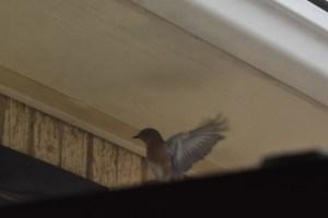 Bluebird taking off