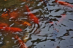 Koi tons of them Omaha (640x427)