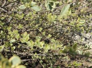 privet spring 2013 (640x477)