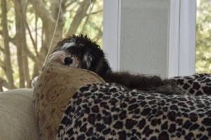 puppies window sleeping 002 (640x427)
