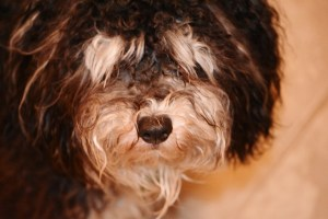 Tanner, year old Havanese