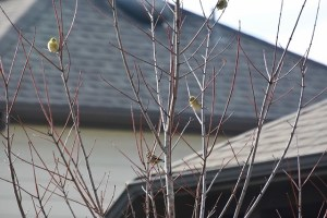 Golden Finches?