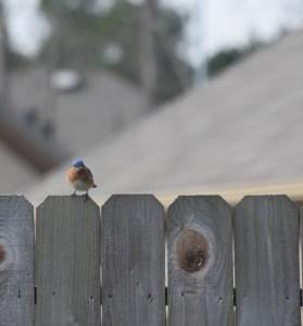 Bluebird cocking his head