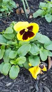 yellow sunny-faced pansies