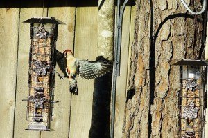red bellied woodpecker 033 (640x427)