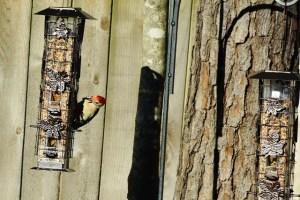 red bellied woodpecker 053 (640x427)