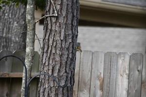 Squirrel Peeking Around Pine Tree