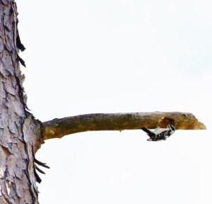 downy woodpecker 010 (640x615)