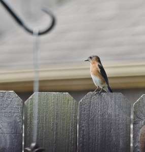 female bluebird (611x640)