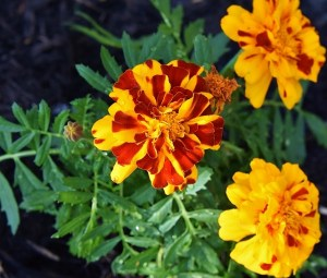 marigolds and double knockout roses 004 (640x545)