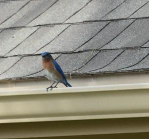 mockingbird and blue bird 009