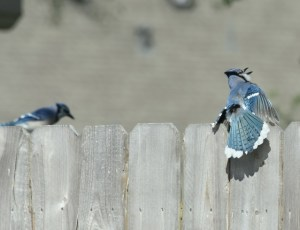 blue jay displaying feathers for female (640x490)
