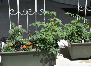 tomatoes and fairies and chives in the garden 009 (640x465)