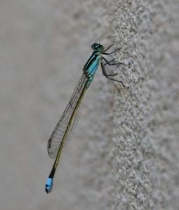 baby blue dasher dragonfly (544x640)