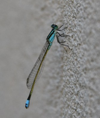 https://i1.wp.com/terryspearbooks.blog/wp-content/uploads/2016/05/baby-blue-dasher-dragonfly-544x640.jpg?resize=335%2C394&ssl=1
