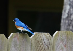 bluebird sideview back