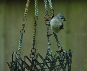 crested titmouse (640x525)