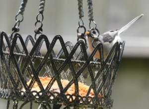 crested titmouse,  ring (640x470)