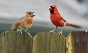 daddy and baby cardinal