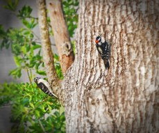 woodpeckers courting