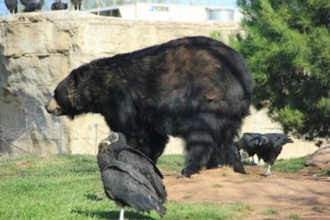 black bear side vultures (640x427)