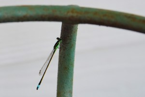blue dasher baby dragonfly 012 (1280x853) (1280x853)