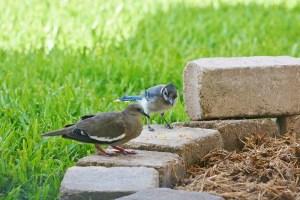 blue jay eyeing dove (1280x853)