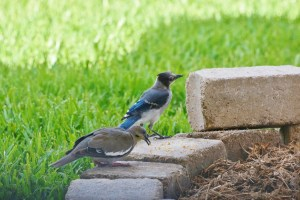 blue jays dove feeding (1280x853)