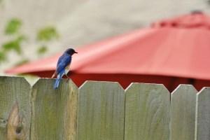 bluebird (640x427)