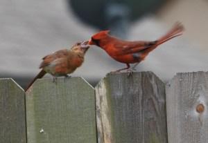 daddy cardinal feeding baby (640x442)
