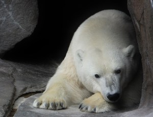 polar bear (2) (800x614)