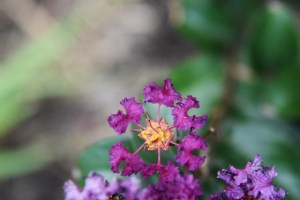 Purple Magic Crepe Myrtle 002 (640x427)