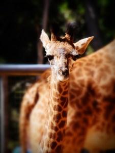 baby giraffe (966x1280) vignette