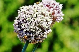 bee on garlic (800x533)