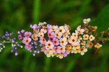 kaleidoscope butterfly bush 600x400