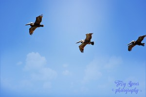 3 pelicans soaring up above--sky 900x600