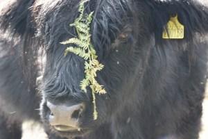 black Highland cow portrait with brachen original (800x533)