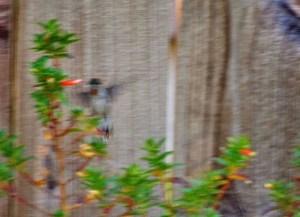 hummingbird on esperanza and recovering firecracker darker 003